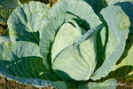 Head of cabbage growing in the field at Jubilee Farm