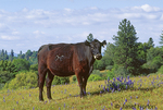 Branded cow standing in lupine-filled pasture