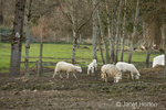 East Fresian dairy sheep in pasture at River Valley Farm