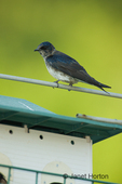 Female Purple Martin (Progne subis) perched on Purple Martin birdhouse