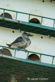 Female Purple Martin (Progne subis) bringing leaf to her nest in a Purple Martin birdhouse
