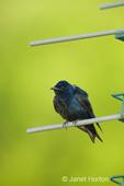 Male Purple Martin (Progne subis) on a perch on Purple Martin birdhouse