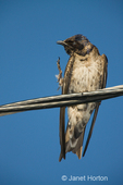 Female Purple Martin (Progne subis) scratching, sitting on a wire