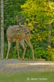 Mule Deer buck (Odocoileus hemionus) standing on a driveway looking right