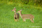 White-tailed Deer standing in a field of native grass located between a rural home and the edge of a woods in an area