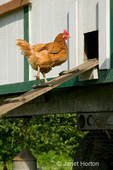Golden Sex-links chicken walking up the ramp into the henhouse known as the Egg Mobile