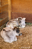 Two Brown Swiss dairy calves in barn stall at River Valley Ranch