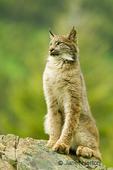 Sub-adult Canada Lynx on rocky ledge.