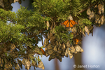 Monarch Butterflies in cluster on tree