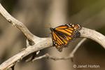 Monarch Butterfly on dead tree branch