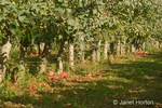 Row of apple trees with apples on the ground, rejected by the pickers, taken at Lucia's Orchards