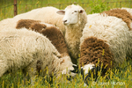 Close-up of Dorset sheep in a flock in a pasture