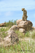 Cheetah sitting on rock (kopje), nervous about whether the baboon had given up on chasing him