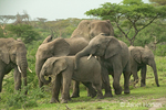 Herd of African Elephants walking in the forest, with the juveniles playing and showing affection