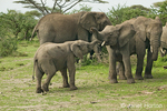 Juvenile African Elephants playing near adults in the forest