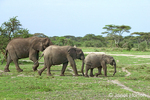 Elephant mom and babies of varying ages migrating
