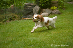 Mandy, a Cavalier King Charles Spaniel, running across the grass with a stick in her mouth