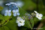 Bluebird Hydrangea blossom in my yard