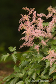 Astilbe is a perennial shade plant with attractive foliage in my backyard