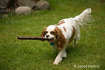 Mandy, a Cavalier King Charles Spaniel, fetching a stick in the yard