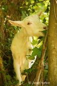 Goat eating brush, including blackberry vines.