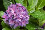 Hydrangea close-up in a shady flower garden