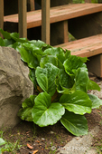 Hosta plant next to large rock and wood stairs in shade garden