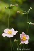 Japanese Anemone (Anemone hupehensis) flowers.