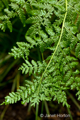 Lady Fern close-up in shady yard