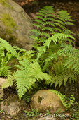Lady Fern growing among some large rocks in a shady yard