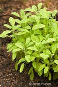 Golden Sage or Variegated Sage in an herb garden