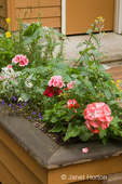 Geranium and other shade plants in a patio planter