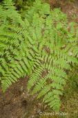 Bracken fern in shady yard