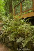 Lady Fern and Western Sword Fern growing above a stone wall next to a patio in a shady yard
