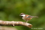 Chestnut-backed Chickadee perched on dead branch