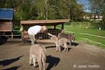 Woman petting Mediterranean miniature donkeys at Baxter Barn.