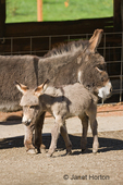 Affectionate mother and foal Mediterranean miniature donkey at Baxter Barn.