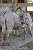Mediterranean miniature donkey foal nursing from its mother at Baxter Barn.