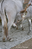 Mediterranean miniature donkey foal nuzzling its mother at Baxter Barn.