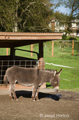 Mediterranean miniature donkey Jenny (adult female) at Baxter Barn.