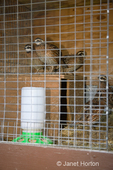 Northern Bobwhite in cage at Baxter Barn