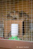 Northern Bobwhite in cage at Baxter Barn in Fall City, WA