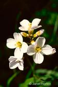 Milkmaids or Toothwort wildflowers