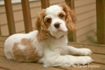 Portrait of Mandy, a female Cavalier King Charles Spaniel puppy, at 11 weeks old, lying on the bench on our deck