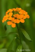 Western Wallflower wildflower