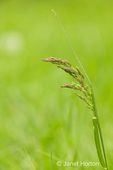 Johnson Grass weed   
