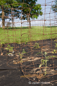 Newly planted pepper plants inside a homemade plant cage in a garden covered with black fabric mulch cloth to prevent weeds at a farm