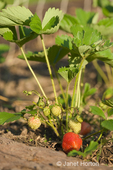 Strawberries on the vine in a raised garden bed at a farm