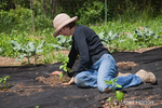 Woman, Jenni, planting pepper garden in ground covered with black cloth to help prevent weeds
