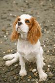 Six month old Cavalier King Charles Spaniel puppy, Mandy, sitting attentively at the beach